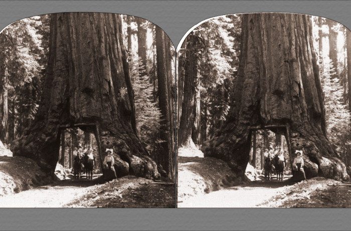 The Wawona Tree – Mariposa Grove