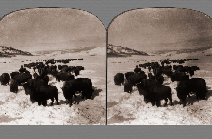 Hundreds of Buffaloes Wallowing