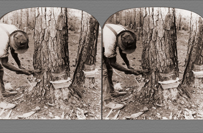Tapping Pine Trees for Turpentine