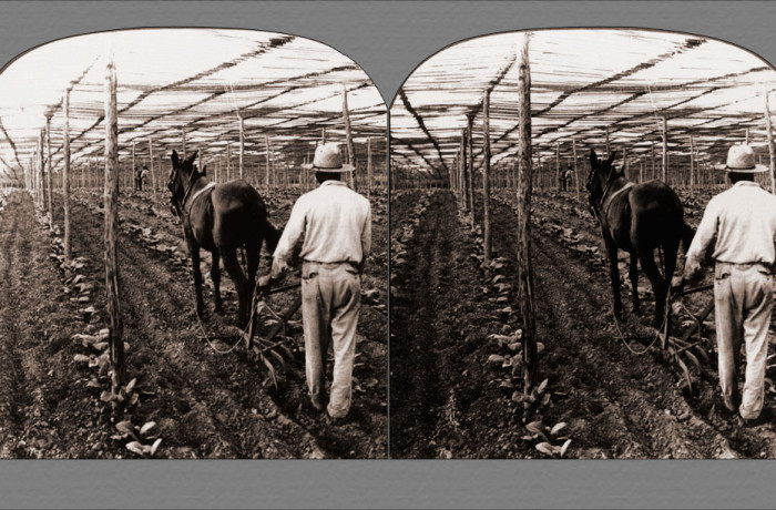 Shelter and Cultivation of Tobacco